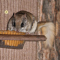 Flying squirrel eating peanut butter