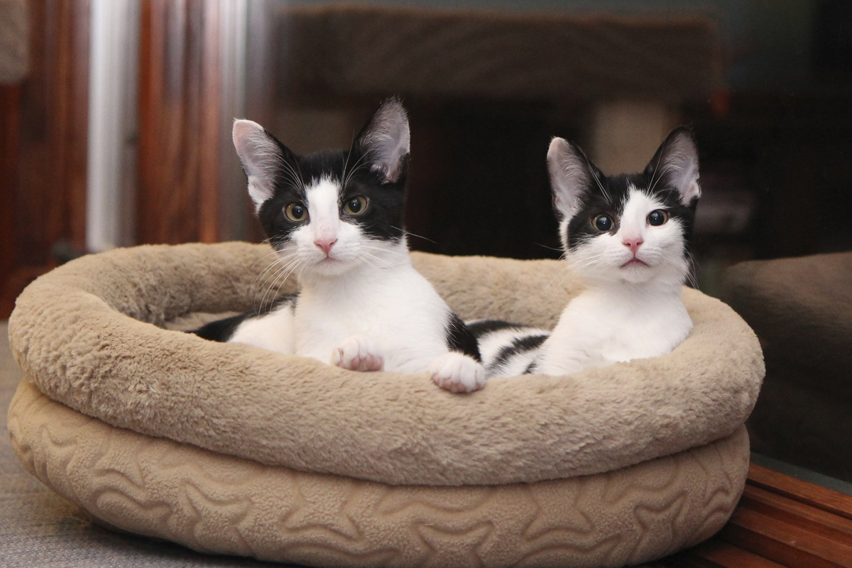 Life with Dogs and Cats: Calvin and Elsa Clair as kittens