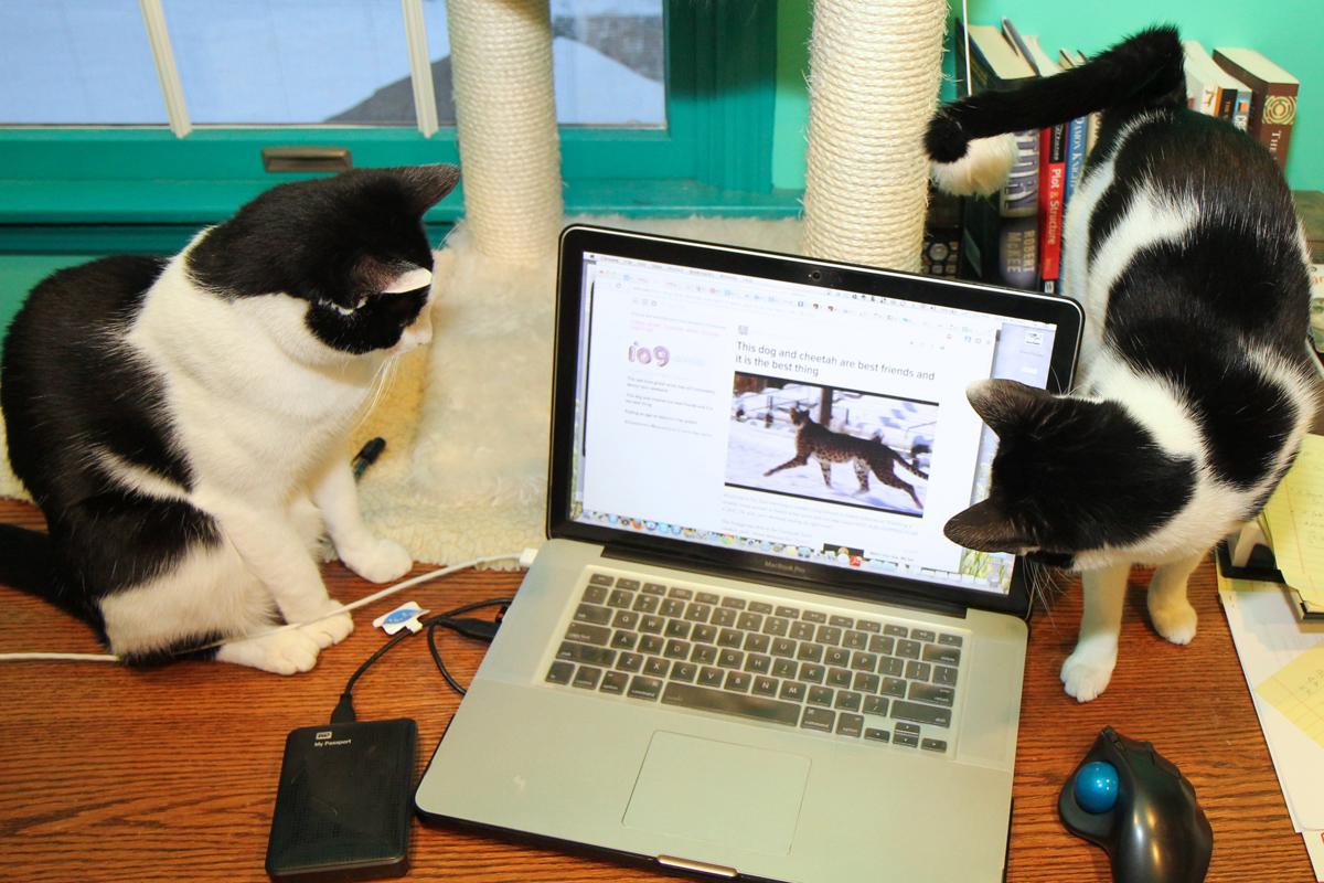 Cats watching jaguar on laptop