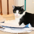 Calvin the cat lays on top of a pile of paper