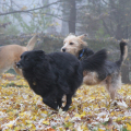 The three dogs of Life with Dogs and Cats run through fall leaves