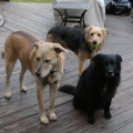 Three dogs want to play some more