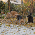 Jasper, Tucker and Lilah play in the leaves and the snow.