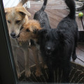 Three dogs wait at the door to come inside as Hurricane Irene ramps up.