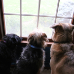 Waiting at the Window: My dogs send me on a guilt trip.