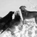 Three dogs contemplate the promised of untrampled snow.