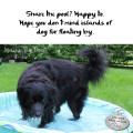 Haiku by Dog: Share the pool? Happy to. / Hope you don't mind islands of / dog fur floating by