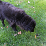 A Fall Challenge: Finding Dog Poop Among the Leaves