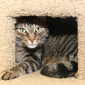 Randall is one of the adoptable cats at the Somerset Regional Animal Shelter