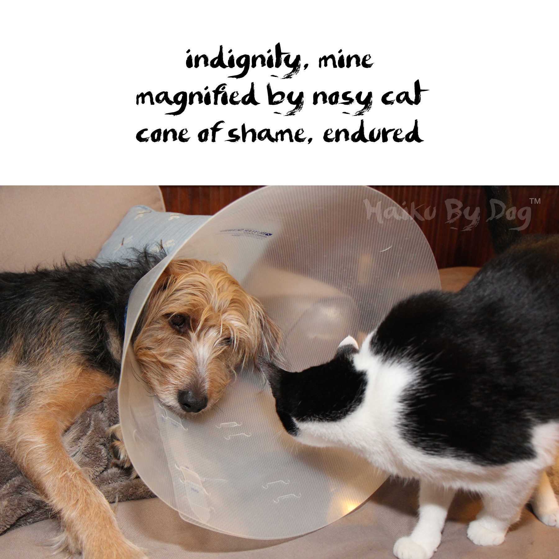 Haiku by Dog: indignity, mine / magnified by nosy cat / cone of shame, endured