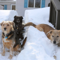 Tucker and Lilah sit in the narrow path through the snow; Jasper has a different idea.