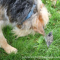 Tucker sniffing a baby robin