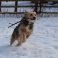 Tucker runs with a stick through the snow