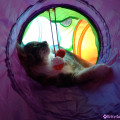 Sophie, a cat with cerebellar hypoplasia, loves playing in her tunnel.
